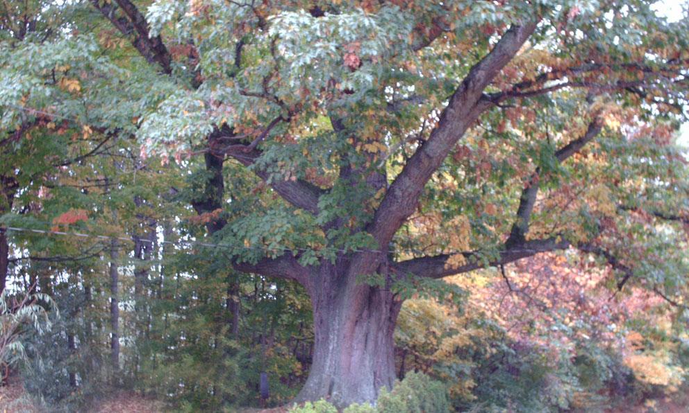 Ashe-Tree-001